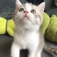 纯种美短猫出售 品相极好包健康 可上门挑选