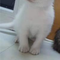家养的波斯猫小猫崽,眼睛双色,活泼可爱健康