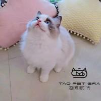 《本地猫舍》专业繁育布偶猫 送猫上门 健康保一年