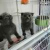 辽宁省本溪市出售英短蓝猫加菲猫