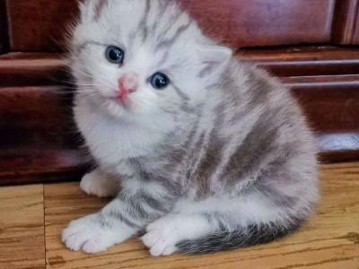 自己家养殖的纯种美国短毛猫