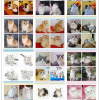 嘉恩cat专业出售英短 美短 加菲 布偶等等