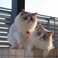 《专业猫舍》赛级布偶猫,全国可空运,坐标广东
