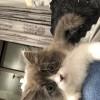品种蓝白高地 长毛 品相好,性格温和粘人 公猫 8个月