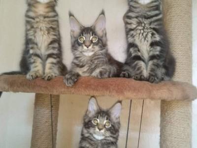 俄罗斯纯种缅因猫