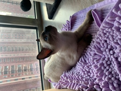暹罗猫出售 无病无癣 驱虫已做 疫苗钱已交