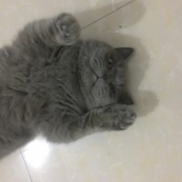 蓝猫,找个好人家领养了  大肥猫