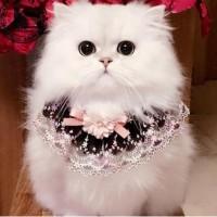 精品金吉拉猫咪出售,全国法国,信誉保证