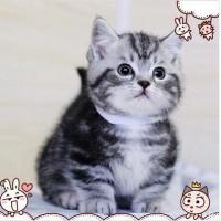矮脚猫出售纯种 小型猫咪 健康品相好  一窝