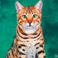 豹猫出售纯种,小型猫咪健康品相好 一窝 全国发货