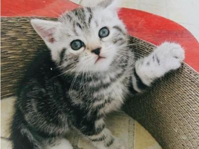 美短猫咪出售 美国短毛猫咪,大量精品猫咪 猫舍直销