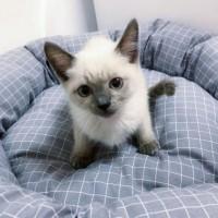 暹罗猫大量有,幼猫咪,公母都有,全国发货 品质保证