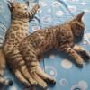 天津市河西区兰江新苑,孟加拉豹猫