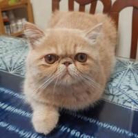 自家繁殖纯种猫咪