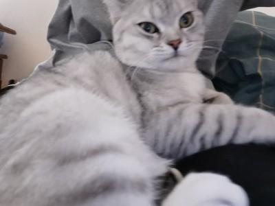 美国短毛猫,现在有7个多月,买猫赠送猫粮猫砂