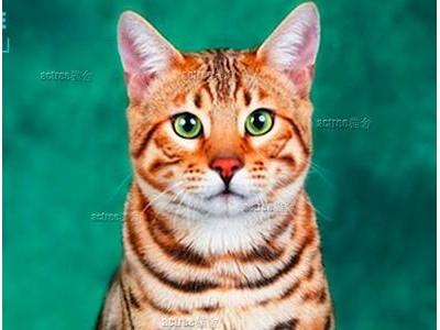豹猫出售纯种,小型猫咪健康品相好 一窝 全国发货 包健康