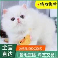 加菲猫咪出售 精品加菲 大量猫咪出售 价格实惠 包售后