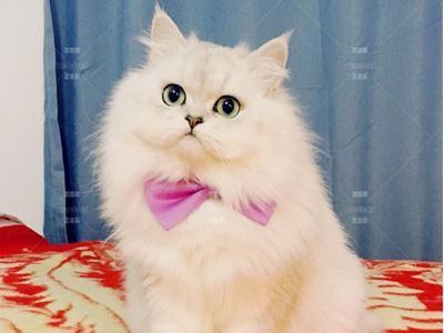 金吉拉猫出售纯种,可以自取,全国发货,价格便宜 健康