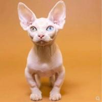 无毛猫咪出售,短毛猫咪,价格实惠,猫舍最新款