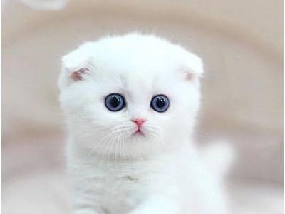 折耳猫咪出售纯种,小型猫咪,猫舍大量繁殖 品相好 品质保证