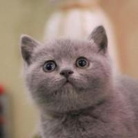 蓝猫出售,猫舍繁殖英短蓝猫包子脸 肥嘟嘟蓝猫出售