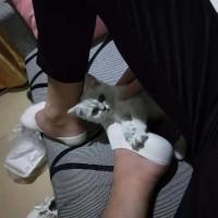 可爱黏人渐层小猫咪,宠物店买的养了快两个月