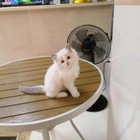 蓝双布偶宠物猫,欢迎喜爱猫咪的人仕抱回家养