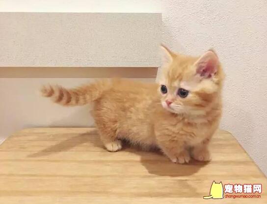 橘猫是什么品种