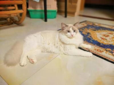蓝双、海双布偶宠物猫