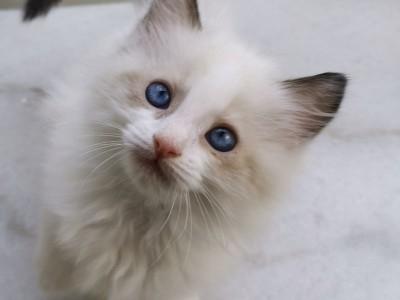 惠州  小布偶猫,性格温顺,已打一针疫苗
