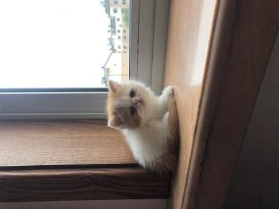 家养的加菲猫,品相优,大眼睛小鼻子,毛量厚,健康小公猫