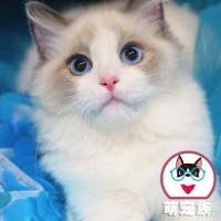 布偶猫出售,纯种,满背双耳 精品布偶猫咪大量 全国发货 特价
