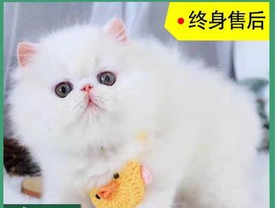 加菲猫出售纯种,全国发货,白色,棕色加菲,品相好,质量好