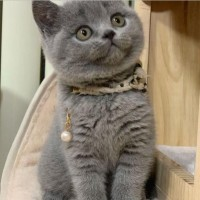 蓝猫出售,猫舍繁殖英短蓝猫包子脸 肥嘟嘟蓝猫出售 可爱