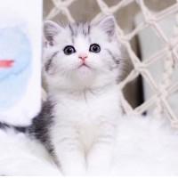 美短猫咪出售 美国短毛猫咪,大量精品猫咪 可自取 可发货