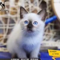 暹罗猫大量有,幼猫咪,公母都有,全国发货 价格实惠