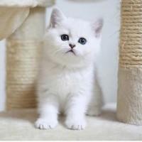 银渐层猫出售,猫舍最新推荐银渐层猫咪 非常活泼聪明