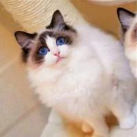 布偶猫出售,纯种,满背双耳 精品布偶猫咪大量 全国发货