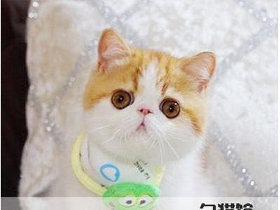 加菲猫咪出售 精品加菲 大量猫咪出售 价格实惠
