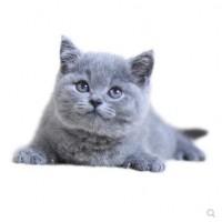 一窝蓝猫出售,纯种,大量猫咪 猫舍转让