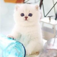 银渐层猫出售,猫舍直销 银渐层猫咪 品质保证