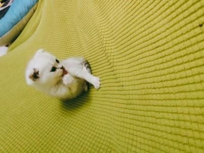 自家猫生的折耳渐层,差不多两个月了,很可爱。