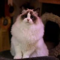 【专业猫舍仅剩2只】赛级精品布偶猫,全国可空运,坐标杭州