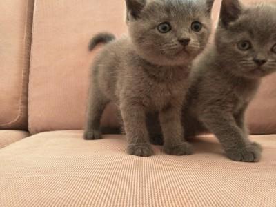 英短蓝猫宝宝 自家繁殖 公母可选 支持上门看猫