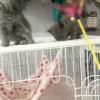 刚入手的小蓝猫自己也非常喜欢家里反对养宠物没办法