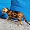 纯种孟加拉豹猫 自家猫生的
