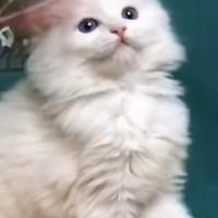 坐标河南2个月大的布偶猫799运费自理