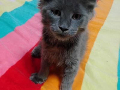 沈阳出售一只纯蓝缅因妹妹,猫长漂亮