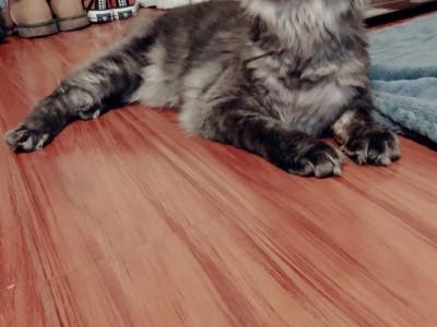 自家养纯血缅因,可上门看猫,坐标江苏无锡