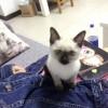 暹罗猫,猫舍买的,现在没时间养了,坐标湖北武汉